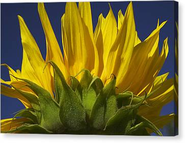 Sunflower Canvas Print by Garry Gay