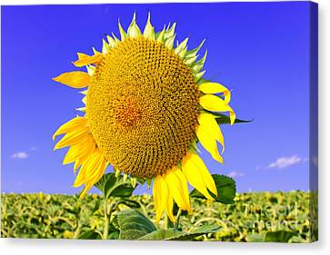 Sunflower Head Canvas Print by Volodymyr Chaban