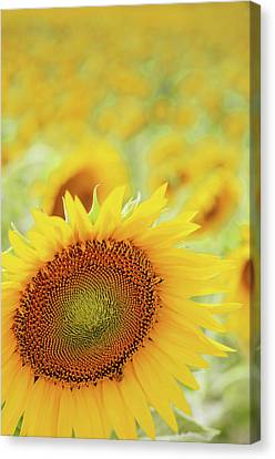 Sunflower In Field Canvas Print by Dhmig Photography