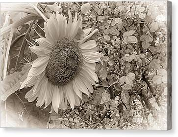 Sunflower In Sepia Canvas Print