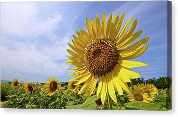 Sunflower In Summer Bloom Canvas Print by Moonie's World