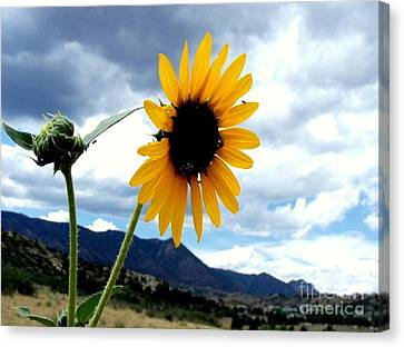 Sunflower In The Rockies With Friends Canvas Print by Donna Parlow
