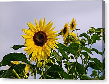 Sunflower In The Setting Sun Canvas Print by Richard Bramante