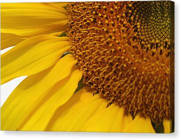 Sunflower Canvas Print by Joan Powell