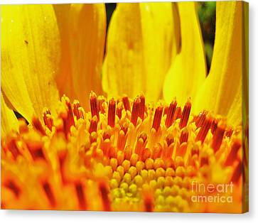 Sunflower Canvas Print by John King