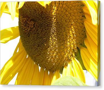 Sunflower Love  Canvas Print by Pamela Patch