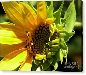 Sunflower No. 2 Canvas Print by Christine Belt