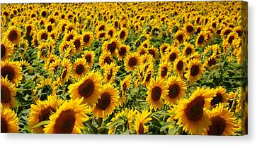 Canvas Print featuring the photograph Sunflower Panorama by Nancy De Flon