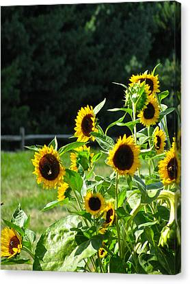 Sunflower Patch Canvas Print by Debra     Vatalaro