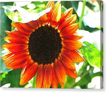 Sunflower Canvas Print by Rhiannon Hamm