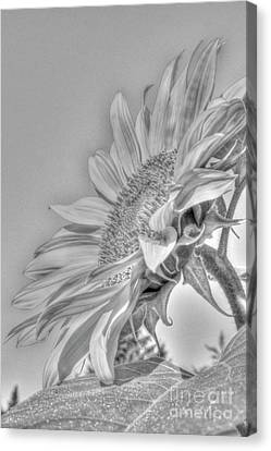 Sunflower Canvas Print by Rod Wiens
