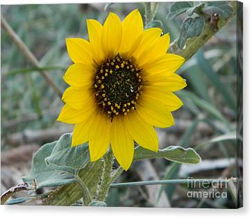 Sunflower Smile Canvas Print by Sara  Mayer