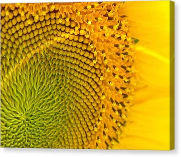 Sunflower Study 1 Canvas Print