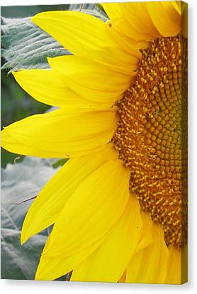 Sunflower Sun Canvas Print