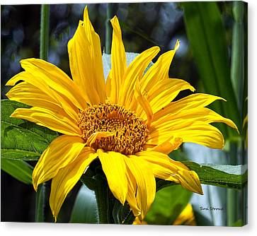 Sunflower Canvas Print by Susi Stroud