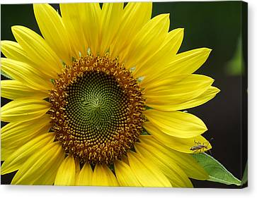 Canvas Print featuring the photograph Sunflower With Insect by Daniel Reed