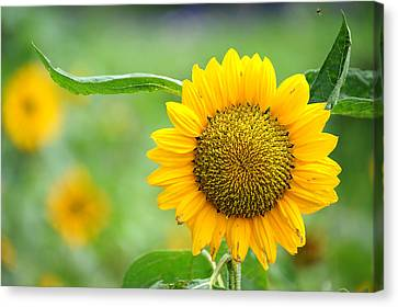 Sunflower Canvas Print by Yew Kwang