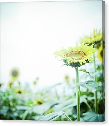 Sunflowers Canvas Print - Sunflower by Yoshika Sakai