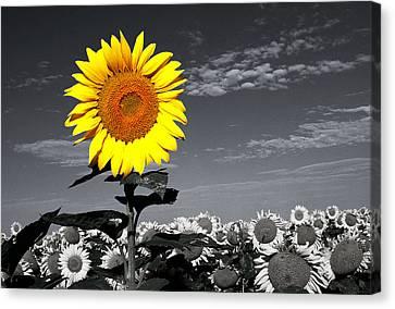 Sunflowers 1 Canvas Print by Sumit Mehndiratta