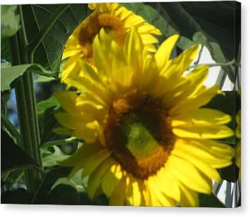 Sunflowers Canvas Print by Amy Bradley