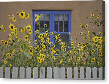Sunflowers Bloom In A Garden Canvas Print by Ralph Lee Hopkins