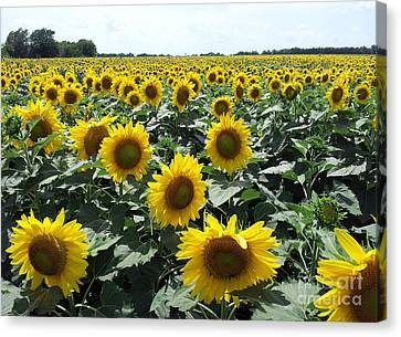 Sunflowers Canvas Print by Cheryl McClure