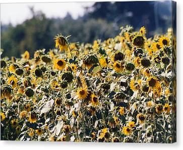 Canvas Print featuring the photograph Sunflowers by Maureen E Ritter