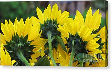 Canvas Print featuring the photograph Sunflowers  by Michele Penner
