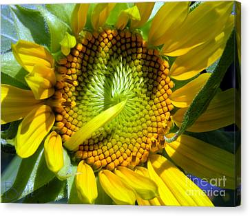 Sunflowers No.33 Canvas Print