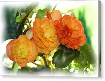 Sunkissed Begonia Trio Canvas Print