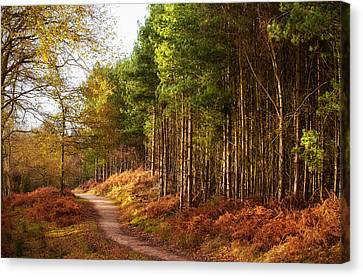 Cannock Chase Canvas Print - Sunlight Across Trees In Cannock Chase by Verity E. Milligan