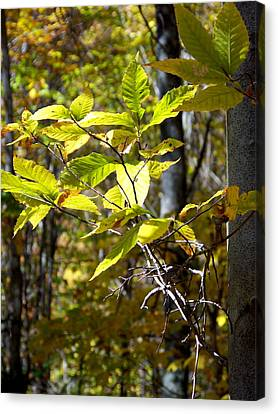 Sunlight On Leaves Canvas Print