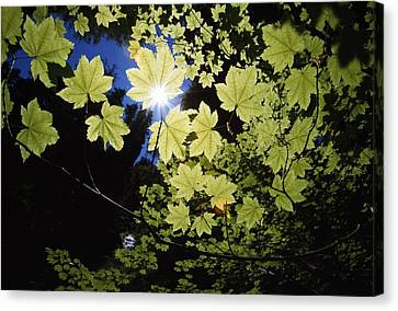 Magnoliopsida Canvas Print - Sunlight Through Maple Leaves by Natural Selection Craig Tuttle