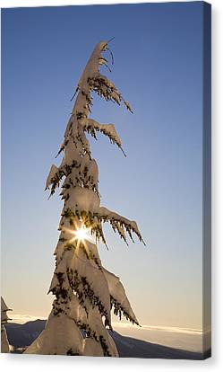 Sunlight Through Snow-covered Tree Canvas Print by Craig Tuttle