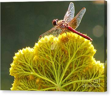 Canvas Print featuring the photograph Sunlit Dragonfly On Yellow Yarrow by Michele Penner