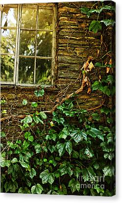 Sunlit Window And Grapevines Canvas Print by HD Connelly