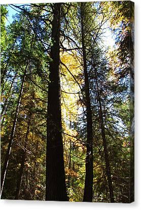 Sunlite Pine Trees Canvas Print by Christine Hafeman