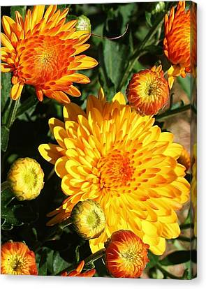 Sunning Mums Canvas Print by Bruce Bley