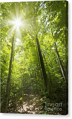Sunny Forest Path Canvas Print