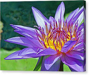 Sunny Purple Waterlily Canvas Print by Becky Lodes