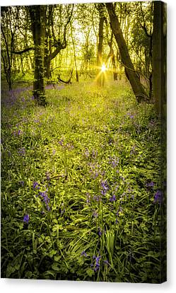 Sunrise In Bluebell Woods Canvas Print by Amanda Elwell