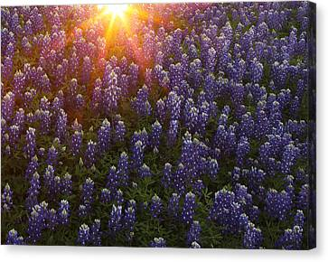 Canvas Print featuring the photograph Sunset Over Bluebonnets by Susan Rovira