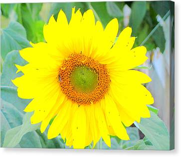 Sunshine Flower Canvas Print by Amy Bradley