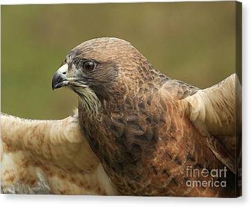 Canvas Print featuring the photograph Swainson's Hawk by Doug Herr