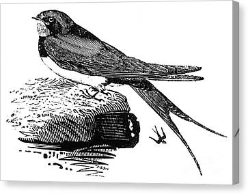 Swallow, C1800 Canvas Print by Granger