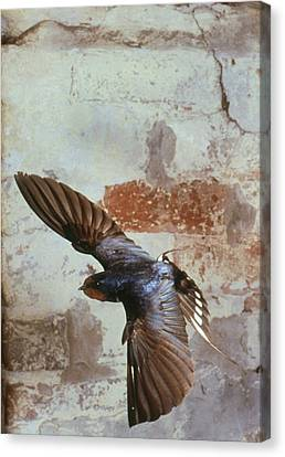 Swallow In Flight Canvas Print by Andy Harmer