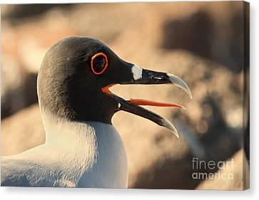 Swallow-tailed Gull Canvas Print
