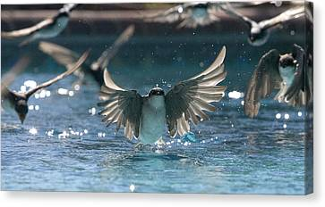 Swallows Drink From Pool Canvas Print by Bryan Allen