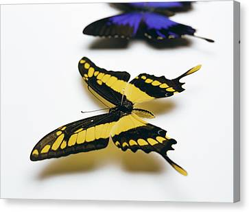Swallowtail Butterflies Canvas Print by Lawrence Lawry