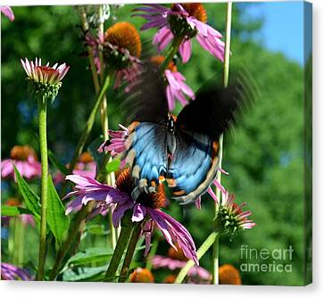 Swallowtail In Motion Canvas Print by Sue Stefanowicz